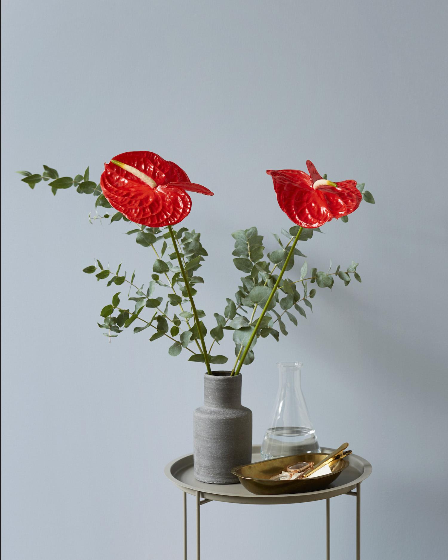 4 nieuwe soorten anthurium snijbloemen