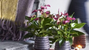 soorten anthuriums