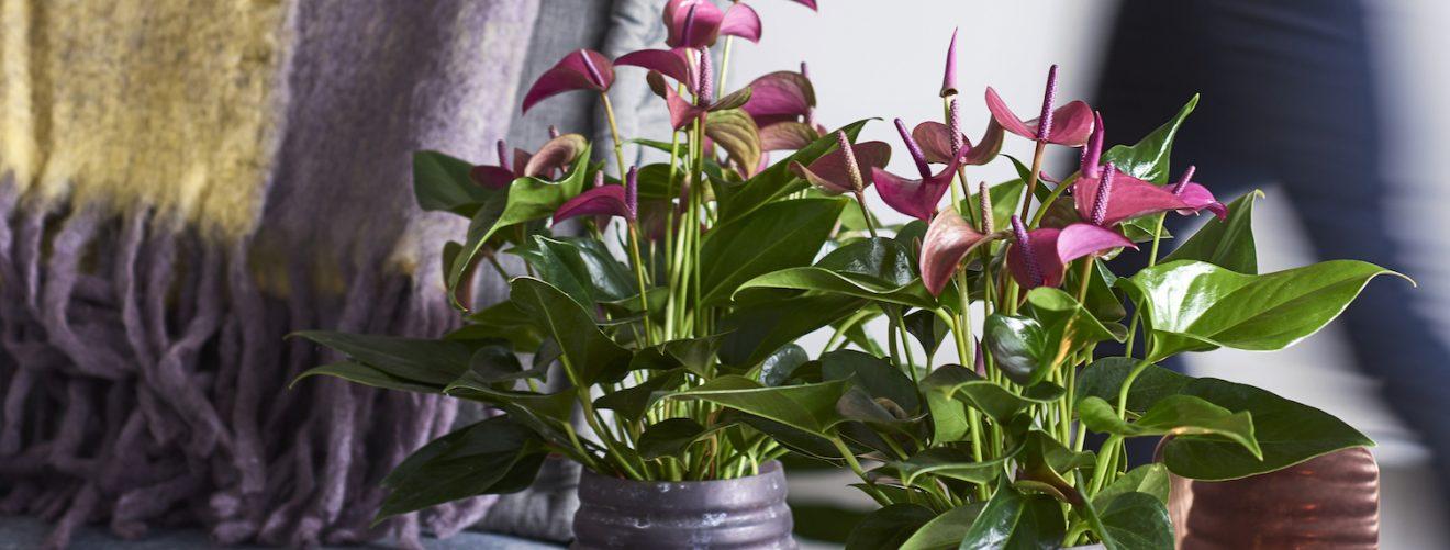 The 2 most common anthurium species