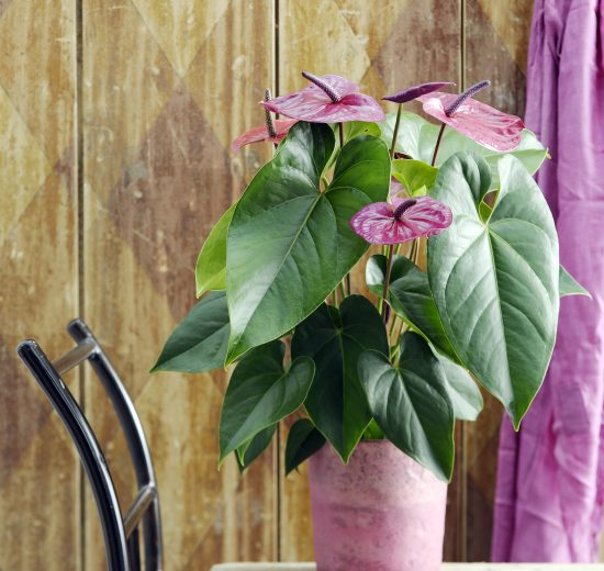 3 things you should not do with an anthurium