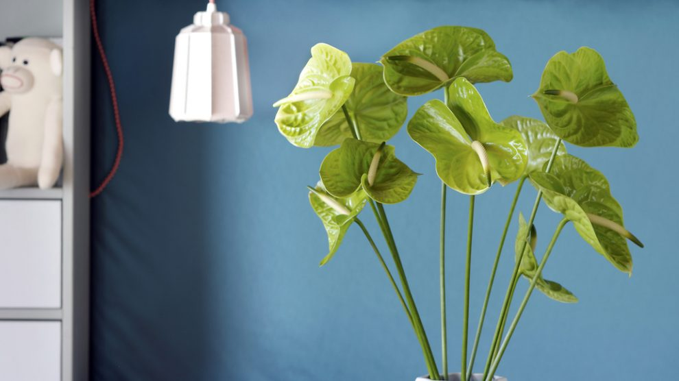 4 styling ideas with the anthurium pot plant & cut flower
