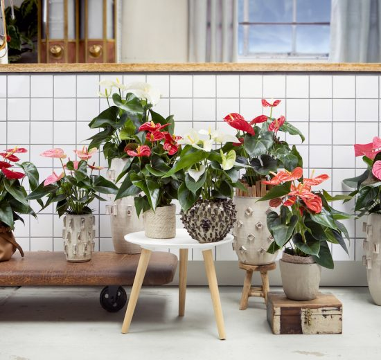 Is it necessary to use anthurium fertiliser?