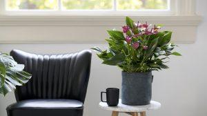 4 tips voor de verzorging van anthurium potplanten