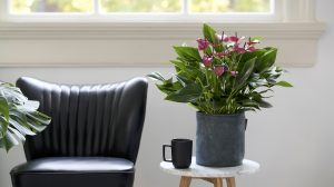 Anthurium plant care: 4 tips
