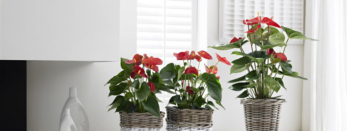 How to bring an anthurium plant back to life
