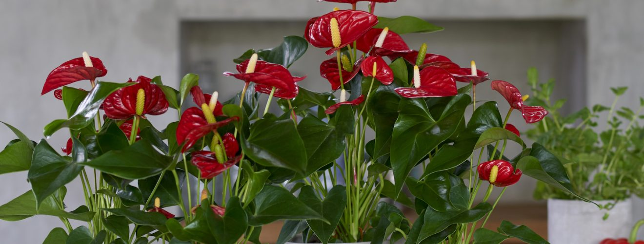 Verwonderend Inspiration: the red anthurium is the perfect Christmas flower EY-82