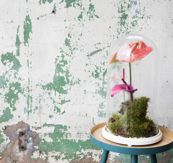 DIY: how to make a kokedama with an anthurium