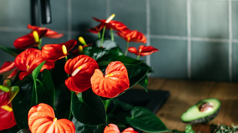 How to style your kitchen with Anthurium plants