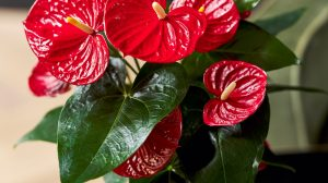 How to get an Anthurium to rebloom: a few tips